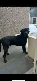 Cane Corso x Boerboel puppy (16 months)