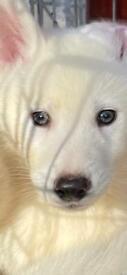Siberian husky puppies for sale: