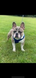 10 month Boy Frenchie for SALE