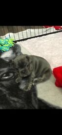 French bulldog puppies for sale !