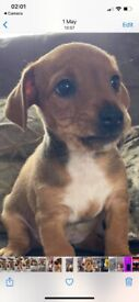 Jack Russell puppies short haired