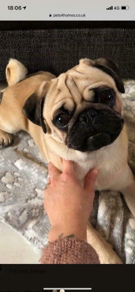 Gorgeous Male KC Registered Pug Puppy | in Chesterfield, Derbyshire |  Gumtree