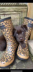 Labrador Puppies Chocolate Pedigree