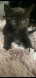Gorgeous male kitten (black with slight white markings under chin and belly)