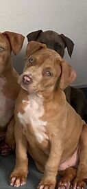 REDUCED!!!ABKC xl bullys Aftermath bloodlines