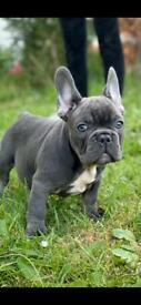 Blue and liliac tan french bulldog puppies