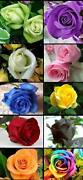 Rose Flower Seeds