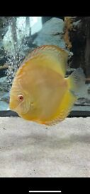 4 high quality healthy discus for sale