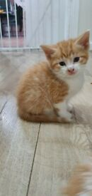 Two male ginger and white kittens British blue x