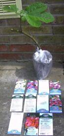 FIG (Brown Turkey Outdoors) + £22 Flower Seeds Bristol (Oldland Common)
