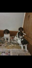 4 Beautiful playful springer spaniel puppies 💕