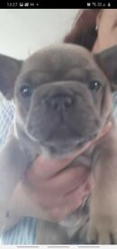 Kc registered wormed fleed and vet checked beautiful blue fawn and lue tan pups ready in 2 weeks
