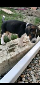 Beagle/Harrier puppy. Ready now. Reasonable offers.