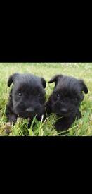 Miniature schnauzer pups*** 2 boys 2 girls left