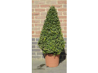 Box cones 80-90cm high excl. pot; 4 available (Buxus sempervirens)