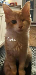 Young Male  - Domestic Short Hair-orange London Ontario image 1