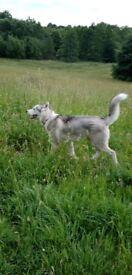 Pedigree Siberian husky