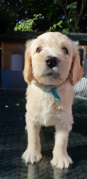 2 Girl Labradoodle F1B Puppies For Sale. for sale  Brandon, Suffolk