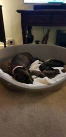 Staff x boxer all pups gone