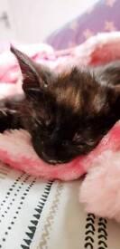 10 week old kittens