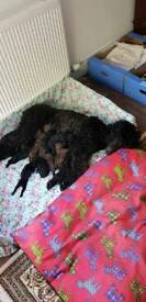 Puppies standard poodles