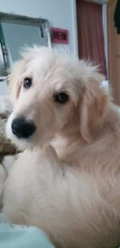 16 week old male Golden Doodle looking for his forever home. Toilet trained, child amd dog friendly