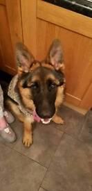 7 month old kc reg pedigree GSD