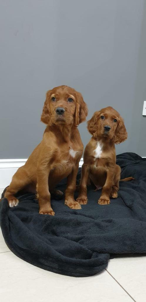 Irish Red Setter Pups In Dungannon County Tyrone Gumtree