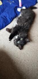 Persian x Ragdoll Kitten
