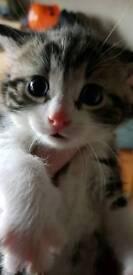 Male kitten one left