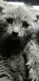One grey kitten left British short hair x kittens