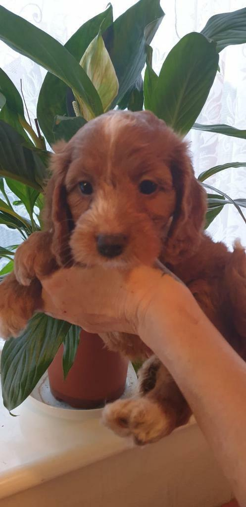 Cockapoo Puppies Due October 30th In Wainfleet Lincolnshire Gumtree