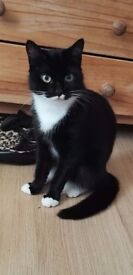 1,5 year old female cat for free