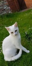 Cat - angora - white