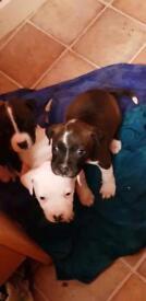 2 staffy pups left