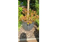 Large grey ceramic pot and red robin plant