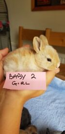 6 dutch baby rabbits left for sale