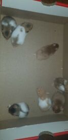 7 lovely home reared friendly baby syrian hamsters