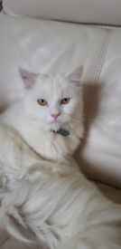Gorgeous White Persian Kitten, 10 Months Old, Neutered And Vaccinated