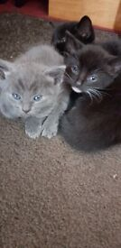 9 weeks old cats for sale