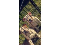 2 stunning kc british bulldog puppies