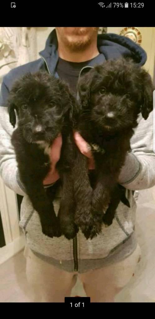 Poodle x labrador puppies for sale