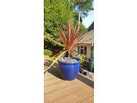 Blue ceramic plant pot with purple cordiline