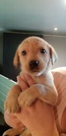 KC registered Gorgeous fox red and yellow labrador pups
