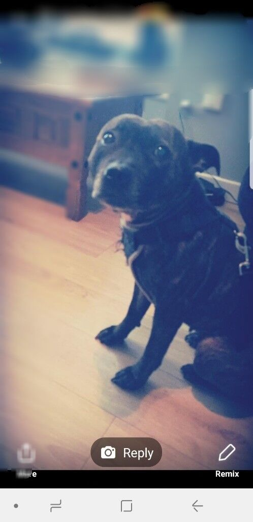 Female staffy, free to good home | in Falkirk | Gumtree