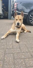 Beautiful lovely mix breed dog £800