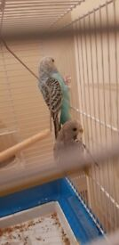 Couple budgies Birds friendly two months old.