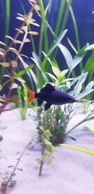 Red Tail Black Shark £5