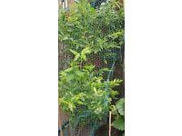 Fruiting Blueberry Bush - 4 feet tall