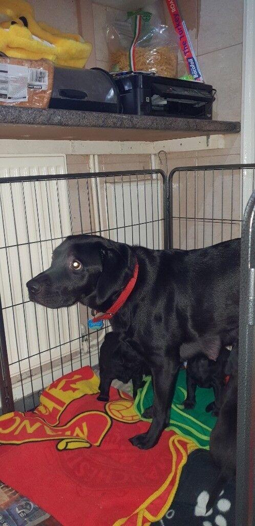 6x Black Labrador retriever puppies for sale | in Bridgwater, Somerset |  Gumtree
